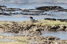 Fairy Tern - Billy Goat Bay (WA)
