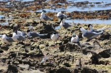 Crested Terns - Billy Goat Bay (WA)