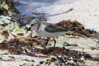 Red-necked Stint - Billy Goat Bay (WA)