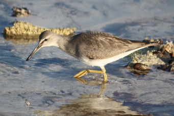 Grey-tailed Tattler - Billy Goat Bay (WA)