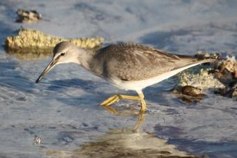 Grey-tailed Tattler - Billy Goat Bay (WA)
