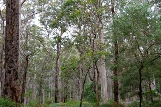 Boranup Karri Forest (WA)