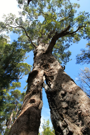 Nornalup - Valley of The Giants, Ancient Empire Walk, Giant Tingle Tree (WA)