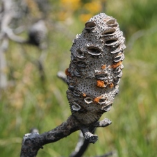 Torndirrup National Park - Banksia (WA)