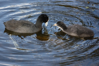 Eurasian Coot and Nestling - Perth (WA)