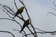 Regent Parrots - Pair - Darkan (WA)