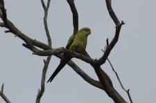 Regent Parrot - Darkan (WA)