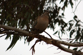 Common Bronzewing - Darkan (WA)