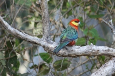 Western Rosella - Male - Maranup Ford Farm Stay (WA)