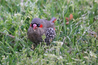 Red-eared Firetail - Maranup Ford Farm Stay (WA)