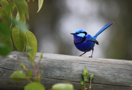Splendid Fairy-wren - Maranup Ford Farm Stay (WA)
