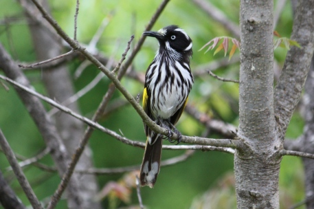 New Holland Honeyeater - Maranup Ford Farm Stay (WA)