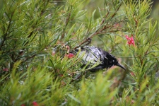 New Holland Honeyeater - 'Morning Shower 1' - Maranup Ford Farm Stay (WA)