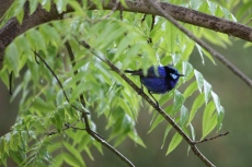 Splendid Fairy-wren - 'Morning Shower 4' - Maranup Ford Farm Stay (WA)
