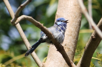 Splendid Fairy-wren - Imm - Maranup Ford Farm Stay (WA)