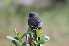 Dusky Woodswallow - Maranup Ford Farm Stay (WA)