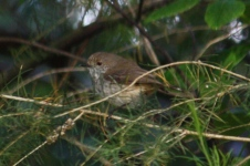 Brown/Inland Thornbill - Maranup Ford Farm Stay (WA)