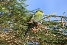 Red-capped Parrot - Immature - Maranup Ford Farm Stay (WA)