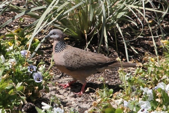 Spotted Turtle-Dove - Perth (WA)