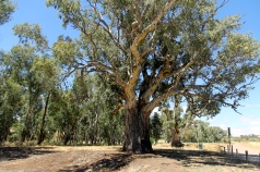 Giant Red Gum Over 500 Years Old (SA)