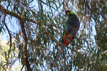 Red-capped Parrot - Emu Beach (WA)