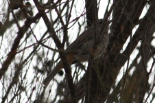 Grey/Western Shrike-Thrush - Pallinup River Nature Reserve (WA)
