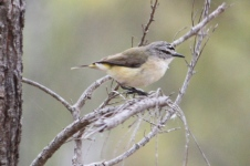 Yellow-rumped Thornbill - Pallinup River Nature Reserve (WA)