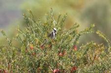 Tawny-crowned Honeyeater - Jerramungup (WA)