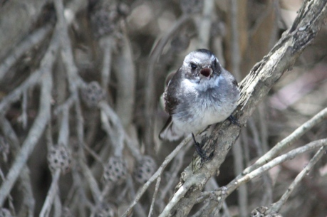 Grey Fantail - Duke Of Orleans Bay (WA)