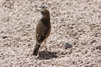 Richard's Pipit - Nullabor Roadhouse (WA)