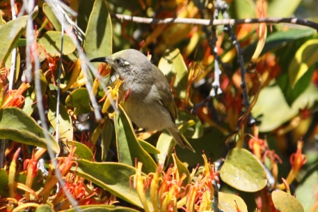 Brown Honeyeater - Gympie (Qld)