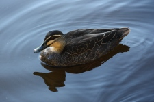 Pacific Black Duck - Arkarra Lagoons, Hervey Bay (Qld)