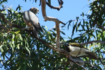 Australian Hobby and Blue-faced Honeyeater - Doon Villa RV Park, Maryborough (Qld)