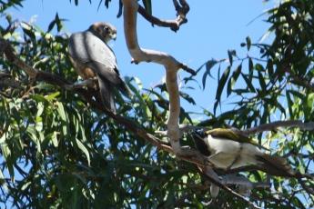 Australian Hobby and Blue-faced Honeyeater - Doon Villa RV Park, Maryborough (Qld)
