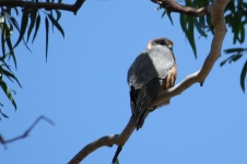 Australian Hobby - Doon Villa RV Park, Maryborough (Qld)