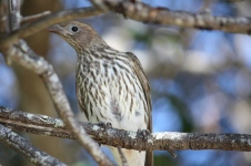 Australasian Figbird - Female - Woodgate Beach (Qld)
