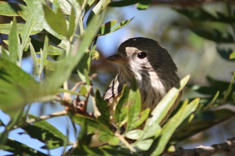 Rufous Whistler - Female - Brierley Winery (Qld)