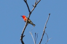 Scarlet Honeyeater - Male - Brierley Winery (Qld)