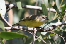 White-throated Gerygone - Brierley Winery (Qld)