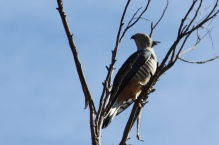 Pacific Baza - Iron Ridge Park (Qld)