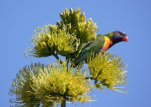 Rainbow Lorikeet - Iron Ridge Park (Qld)