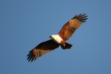 Brahminy Kite - Futter Creek, Calliope (Qld)
