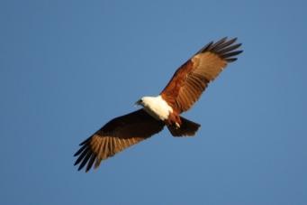 Brahminy Kite - Futter Creek, Calliope (Qld)