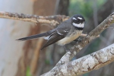Grey Fantail - Arkarra Lagoons, Hervey Bay (Qld)