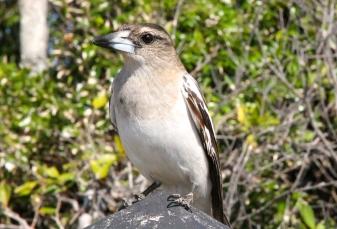 Butcherbird - Toogoom (Qld)