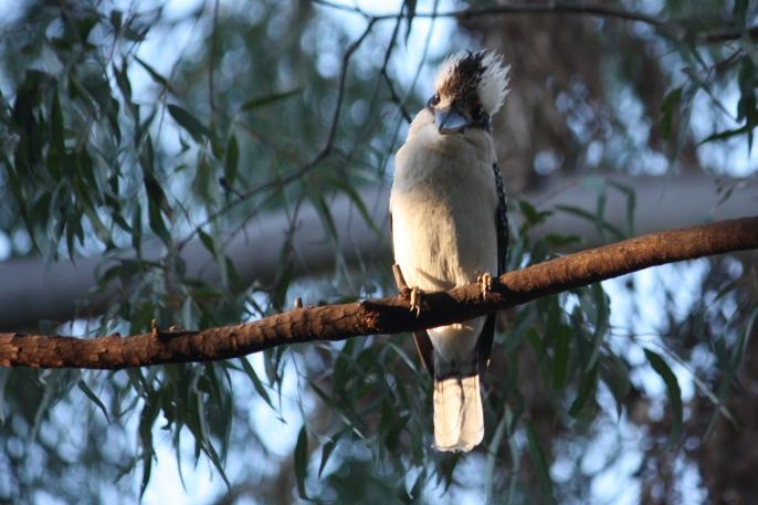 Laughing Kookaburra - Mount Morgan (Qld)