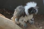 Bundaberg - Zoo - Cotton-top Tamarin (Qld)