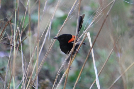 Red-backed Fairy Wren - Male - Futter Creek (Qld)