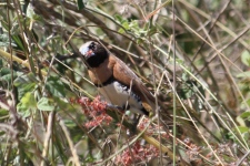 Chestnut-breasted Mannikin - Male - Futter Creek (Qld)