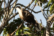 Grey-crowned Babbler - Rosedale (Qld)
